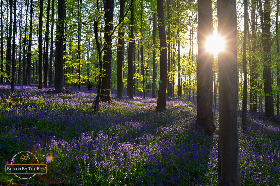 Hallerbos, The Bluebell Forest